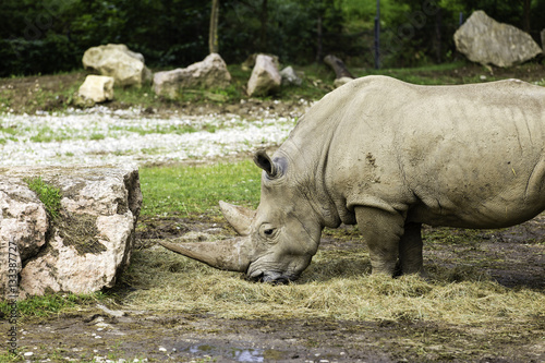 Valokuva  Rinoceronte bianco