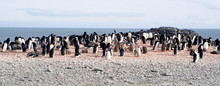 Wild Penguins Resting By The S...