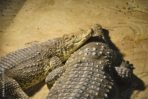 Photo  Two Nile crocodiles (Crocodylus niloticus) lie together