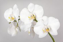The Branch Of White Orchid