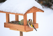 European Goldfinch In Simple Bird Feeder