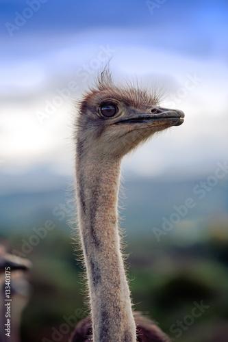 Aluminium Prints Ostrich Ostrich at blue sky
