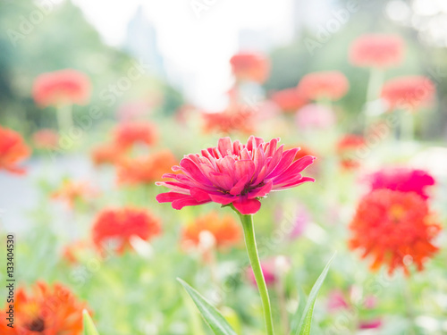 Poster Jaune Pink flower among red flowers in the garden with clear blue sky background