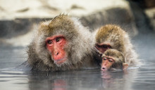 Group Of Japanese Macaques Sit...