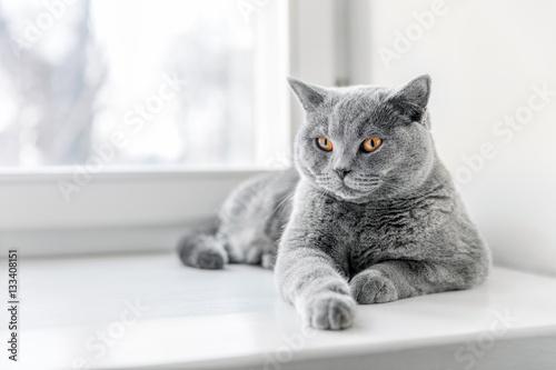 Foto op Aluminium Kat Noble proud cat lying on window sill. The British Shorthair