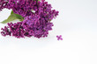 Bouquet of purple lilac on white background