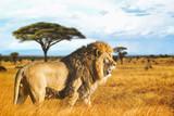 Fototapeta Sawanna - Lion de profil dans la savane