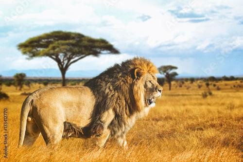 Spoed Foto op Canvas Leeuw Lion de profil dans la savane