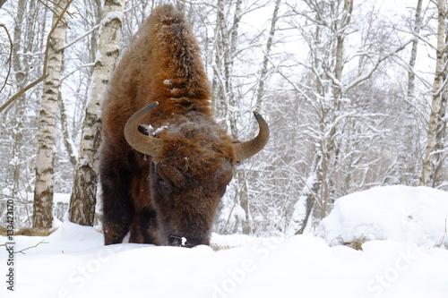 Vászonkép  Front close view of European bison