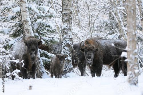 Fényképezés  Wisent family in winter birch forest