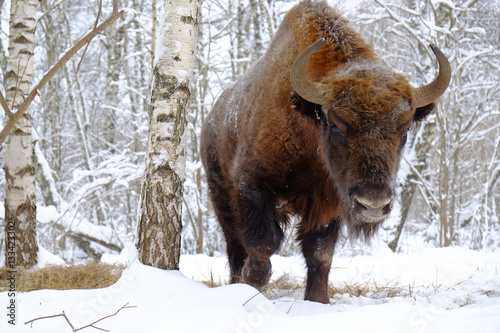 Front close view of European bison