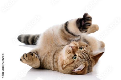 Naklejki koty   piekny-pasiasty-kot-na-bialym-tle