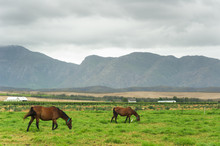 Young Horses Grazing In A Field