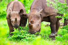 Mother And Baby Rhino Calf Grazing In Green Grass Vegetation.