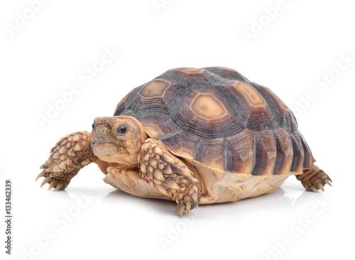 Cadres-photo bureau Tortue Turtle isolated on white