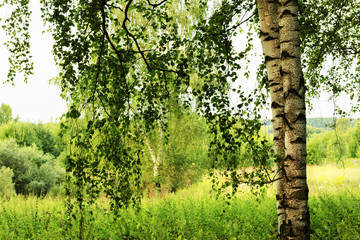 Fototapetasummer in sunny birch forest