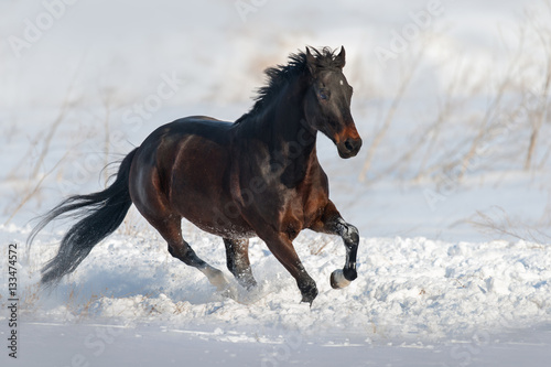 Foto  Bay horse run gallop in snow field