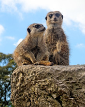 Two Meerkats Against A Blue Sky.
