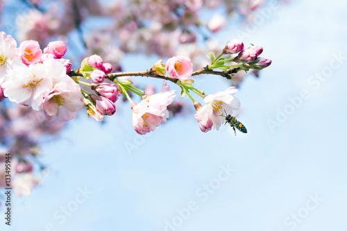 biene an einer kirschblüte