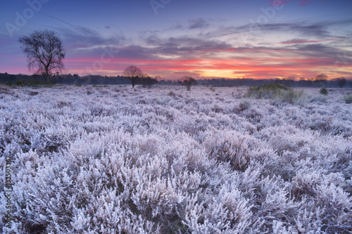 Tuinposter Lavendel Frosted heather at sunrise in winter in The Netherlands