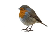 European Robin Isolated On Whi...