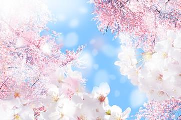 Fototapeta桜 ほわ 三