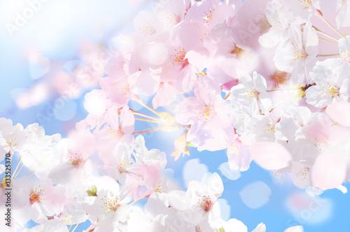 In de dag Kersen 桜 ほわ 四