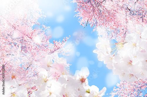 Foto op Plexiglas Kersen 桜 ほわ 三