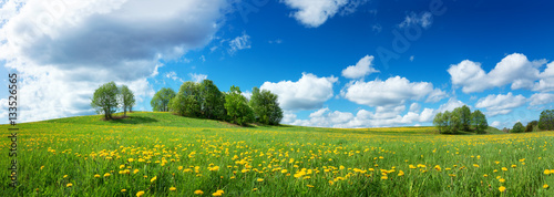 Fotoposter Cultuur Green field with yellow dandelions and blue sky. Panoramic view to grass and flowers on the hill on sunny spring day
