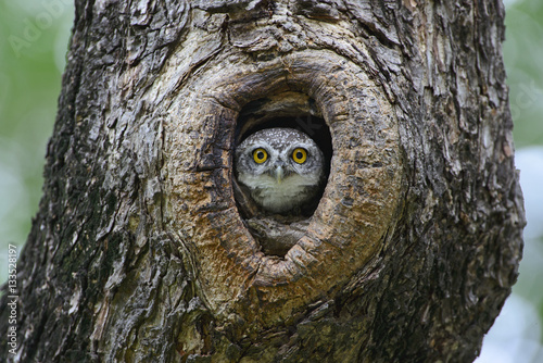 Poster de jardin Chouette Bird, Owl, Spotted owlet (Athene brama) in tree hollow,Bird of T