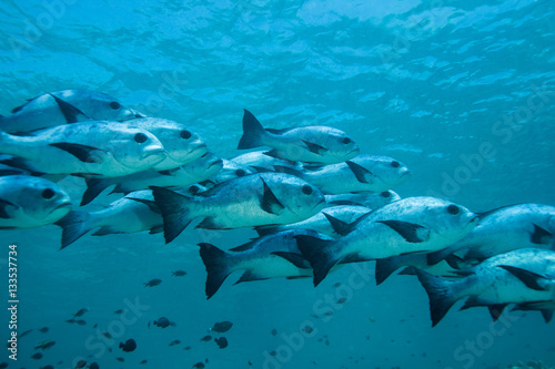 Snapper fish shoal. Sipadan island. Celebes sea. Malaysia.