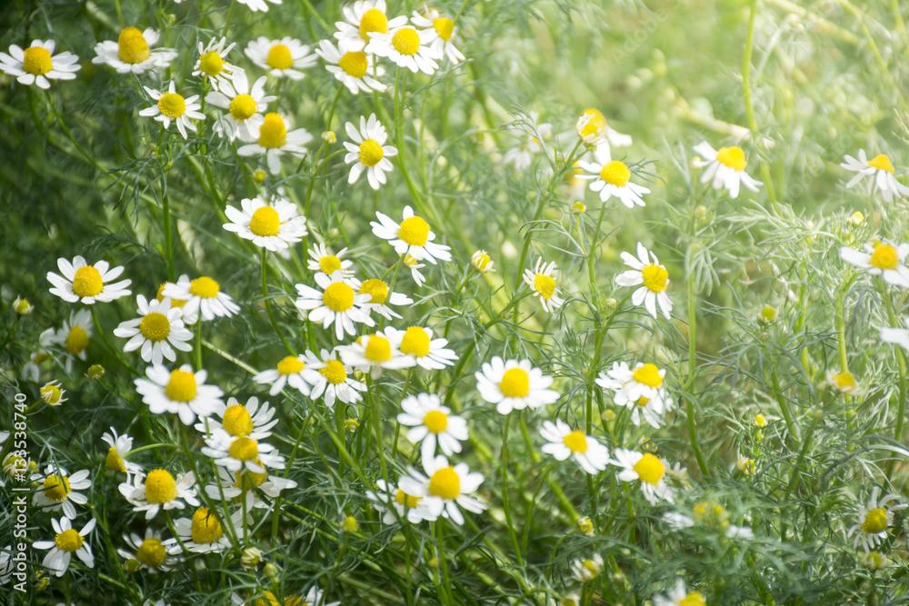 Fototapety, obrazy: Fresh chamomile flower field garden greenery herb and plant back