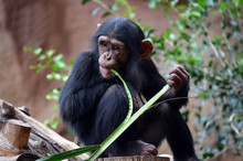 Chimpanzee Eating Bamboo