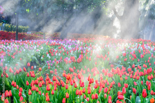 Many color of tulip in garden
