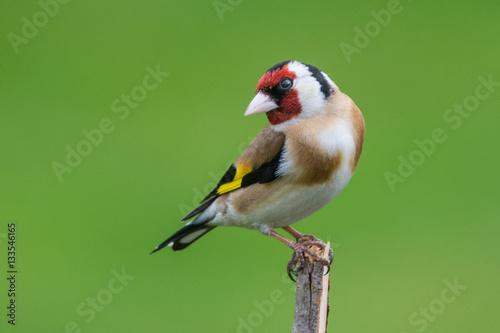 Obraz na plátne Goldfinch
