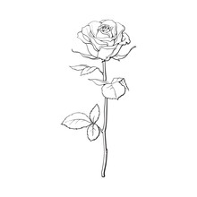 Deep Contour Rose Flower With Green Leaves, Sketch Style Vector Illustration Isolated On White Background. Realistic Hand Drawing Of Open Rose, Symbol Of Love, Decoration Element