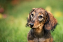 Beautiful Dachshund Puppy Dog With Sad Eyes  Portrait