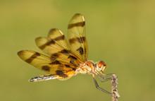 Halloween Pennant Dragonfly Resting On A Dry Flower Stalk