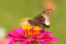 Hoary Edge Butterfly On A Brig...