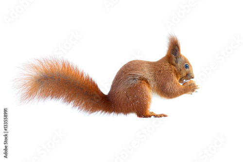 Staande foto Eekhoorn Red squirrel with furry tail holding a nut isolated on white background