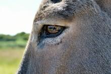Gros Plan Sur L'oeil D'un âne