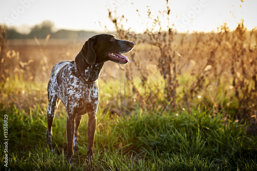 a beautiful bird dog hunting in a field
