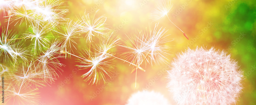 Fototapety, obrazy: Fluffy dandelion flower against the background of the summer lan