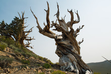 Twisted Bristlecone Pine Tree In California's White Mountains