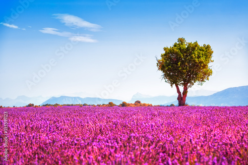 Photo  Lavender and lonely tree uphill. Provence, France