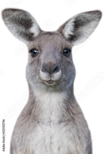 Stickers pour portes Kangaroo Young curious kangaroo with white background