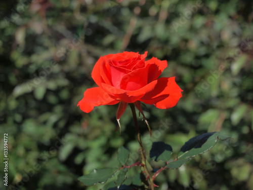Orange rose  / Tropical Rose Garden