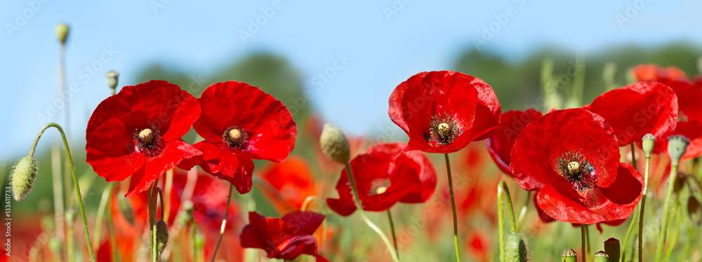 poppy flowers in a field