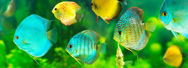 Panel Szklanycolorful tropical discus fish