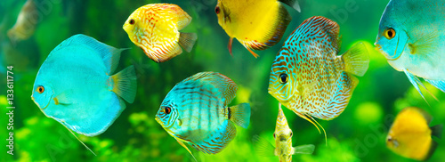 Valokuva  colorful tropical discus fish